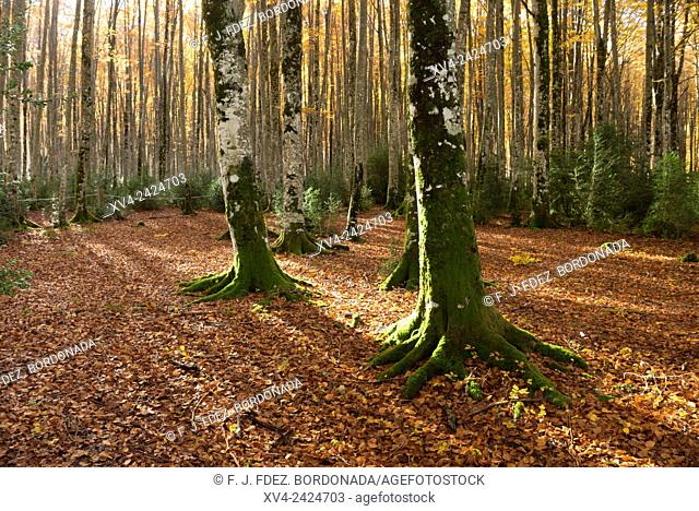 Larra Belagua forest at Roncal Valley, Navarre Pyrenees, Spain