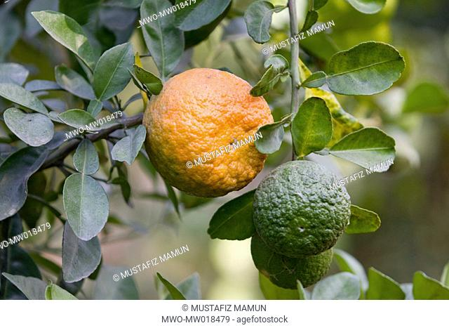 Oranges on the tree Unprecedented success has been made for the first ever in Bangladesh, in cultivating orange, in Dinajpur, Bangladesh December 09, 2008