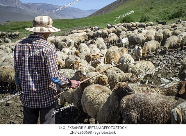 A shepherd is counting sheep in the mountains near Khinalig village, Quba region, Azerbaijan. Khinalig is an ancient village deep in the Caucasian mountains on...