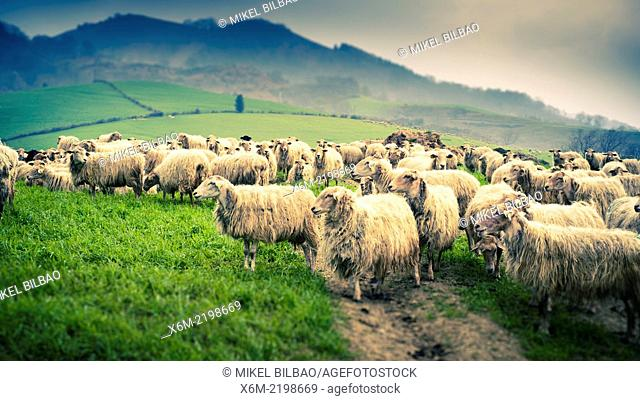 Sheep flock in a grassland