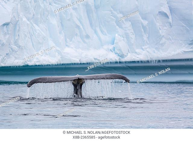 Adult humpback whale, Megaptera novaeangliae, flukes-up dive amongst the ice in Cierva Cove, Antarctica