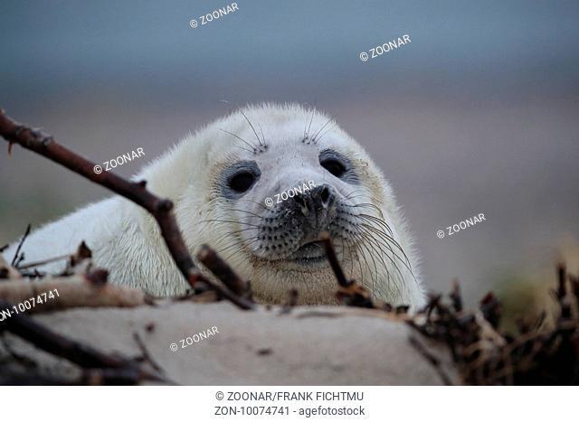Kegelrobbe Heuler Helgoland Gray Seal Helgoland Germany