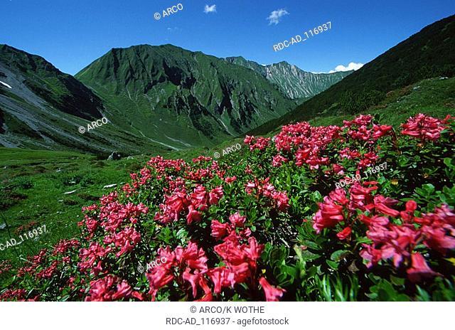 Rhododendron Lechtaler Alps Austria Rhododendron hirsutum Hairy Alpine Rose