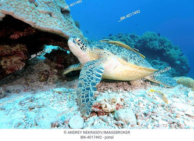 Green sea turtle (Chelonia mydas), Bohol Sea, Philippines