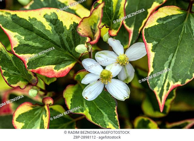 Chameleon Plant, Houttuynia cordata, flowering