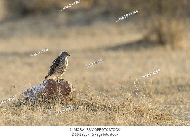 Asia, India, Rajasthan, Bikaner, Eurasian Sparrowhawk (Accipiter nisus), on the ground