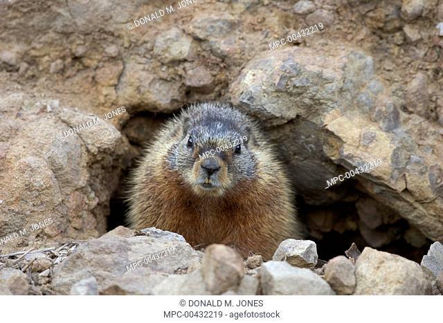 Yellow-bellied Marmot (Marmota flaviventris) at burrow entrance, western Wyoming