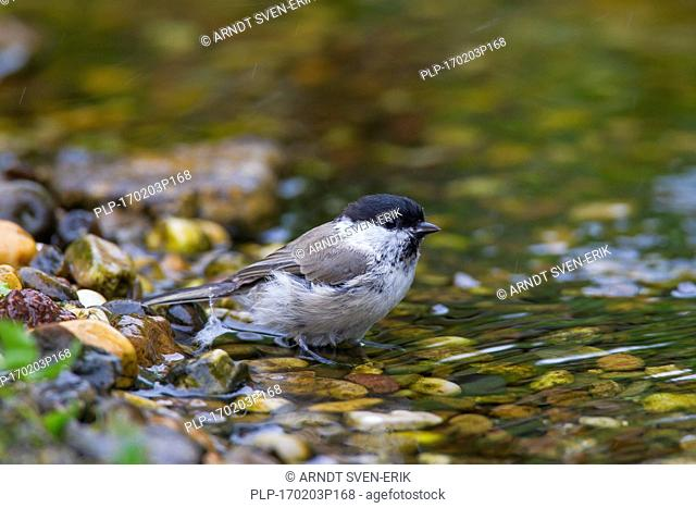 Marsh tit (Poecile palustris) drinking water from brook