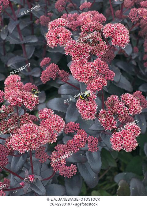 """Sedum telephium """"""""Purple Emperor"""""""" (Ice plant)"""