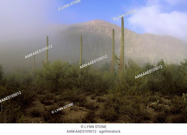 Sonoran Desert in Fog, late February, Tucson Mountain Park, Arizona