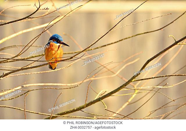 Kingfisher (Alcedo atthis) in a garden - garden fence out of focus behind. Kent (Loose Village, near Maidstone) UK. January