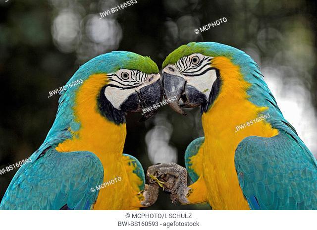 blue and yellow macaw (Ara ararauna), couple, portrait, Brazil, Pantanal