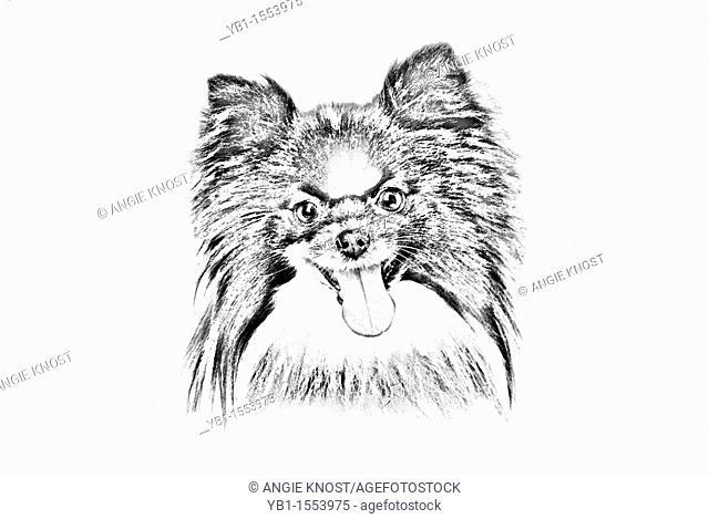 Sketch style illustration of a Papillon Dog