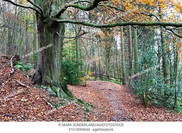 Footpath through Nidd Gorge Woods in Autumn near Bilton North Yorkshire England