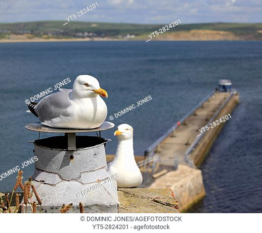 Gulls at Nothe Fort, Weymouth, Dorset, England, Europe