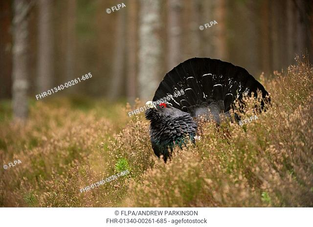 Western Capercaillie Tetrao urogallus rogue adult male, displaying in pine forest, Cairngorms N P , Highlands, Scotland, march