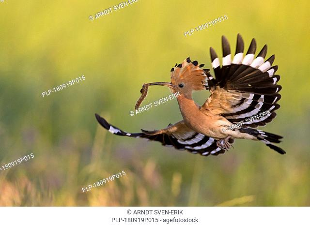 Eurasian hoopoe (Upupa epops) with erected crest feathers in flight over meadow with caught grub prey in beak
