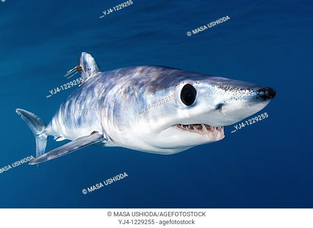 shortfin mako shark, Isurus oxyrinchus, with parasitic copepods, very aggressive and the fastest swimmer of all shark species, off San Diego, California