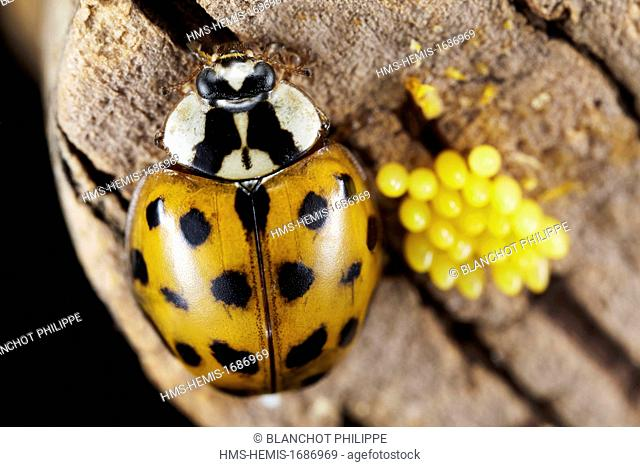 France, Coleoptera, Coccinellidae, Harlequin ladybird, Multicolored Asian lady beetle or Halloween lady beetle (Harmonia axyridis), 5 mm, female and its eggs