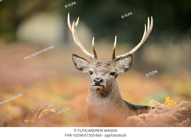 Red Deer (Cervus elaphus) stag, close-up of head, looking out from bracken, Bradgate Park, Leicestershire, England, October
