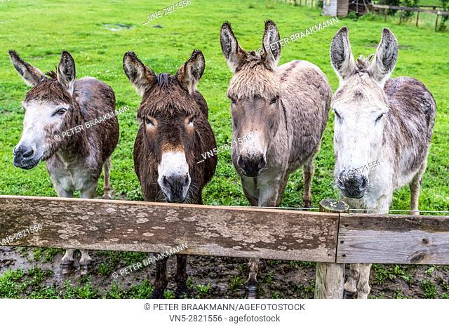 Four donkeys can look in a pasture behind a fence planks