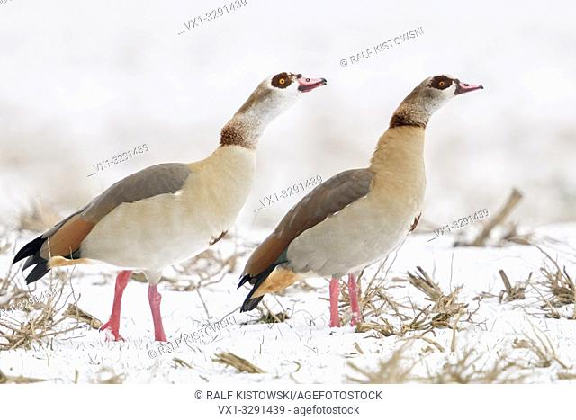 Egyptian Geese / Nilgaense (Alopochen aegyptiacus), pair, couple in winter, showing aggressive behaviour, defending their territory, together, wildlife, Europe