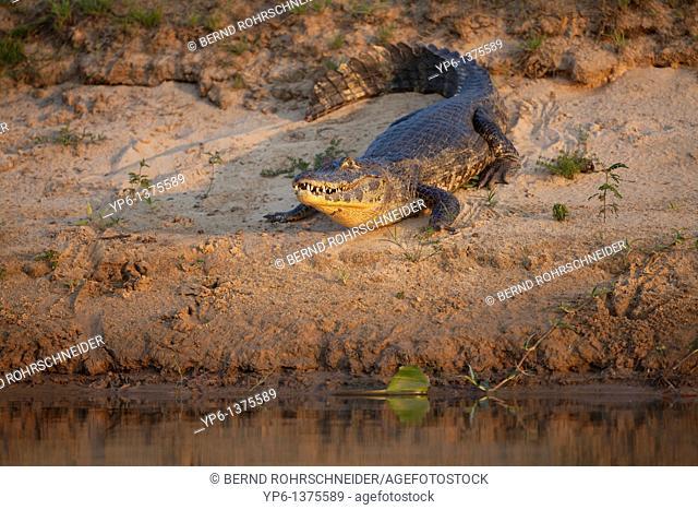 Yacare Caiman Caiman yacare lying on river bank in evening light, Pantanal, Brazil