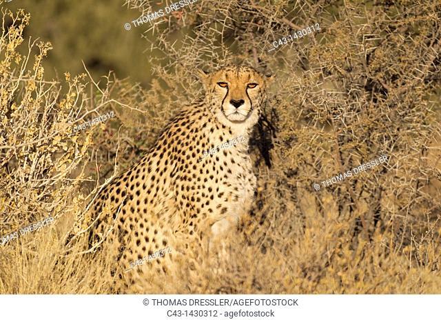 Cheetah Acinonyx jubatus - Female  Photographed in captivity on a farm  Namibia