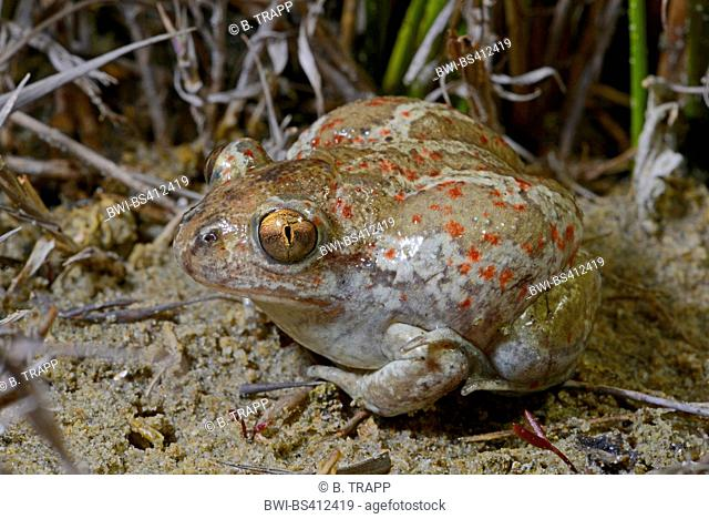 common spadefoot, garlic toad (Pelobates fuscus), bloated as protection, Romania, Moldau, Iași