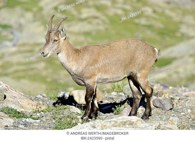 Alpine Ibex (Capra ibex), wild, above Lac d'Emosson reservoir, Valais, Switzerland, Europe