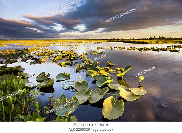 Lily Pads Glow At Sunset As The Clouds Reflect In The Tranquil Water Of A Pond In The Bristol Bay Watershed Near The Kvichak River; Bristol Bay Alaska United...