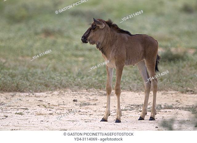Blue wildebeest (Connochaetes taurinus) - Lamb, Kgalagadi Transfrontier Park, Kalahari desert, South Africa/Botswana