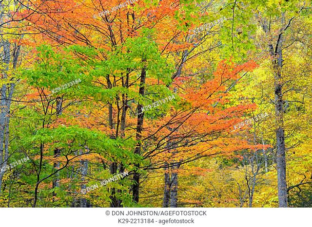 Autumn foliage in the forest at the Chimneys Picnic Area, Great Smoky Mountains NP, Tennessee, USA