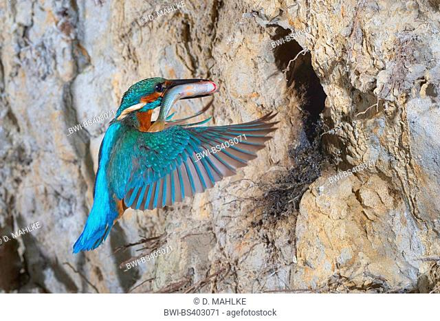 river kingfisher (Alcedo atthis), approaching the breeding cave with a caught fish in its bill, Germany, North Rhine-Westphalia