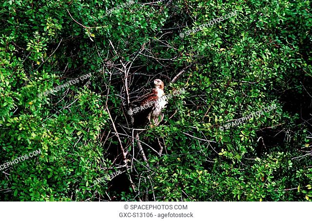 02/23/1999 -- A Rough-legged hawk stares at the landscape from a perch in a tree in the Merritt Island National Wildlife Refuge