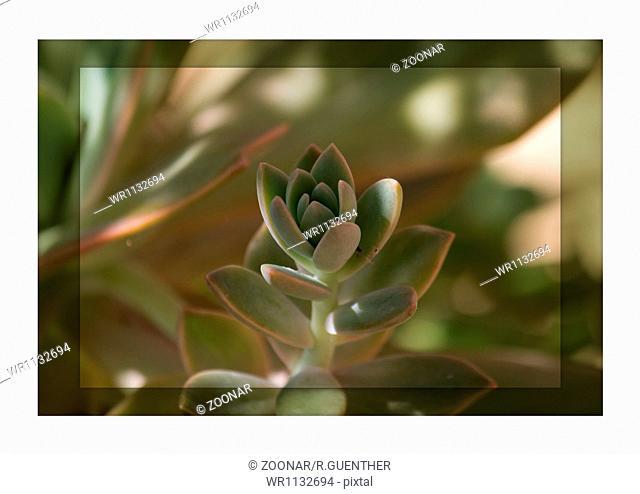 Sedum leaves