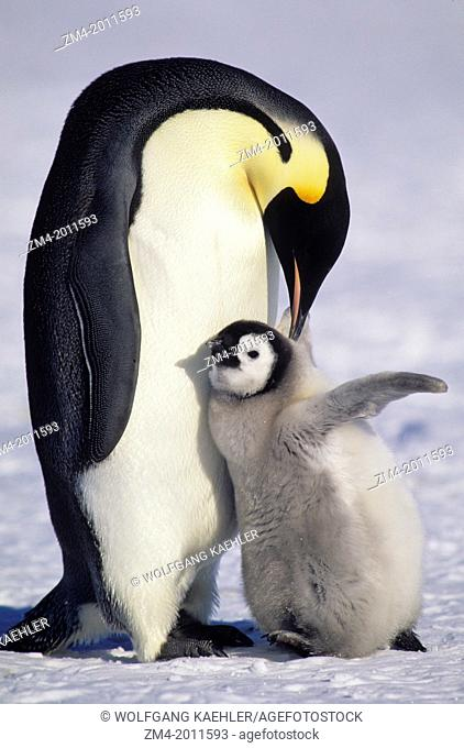 ANTARCTICA, ATKA ICEPORT, EMPEROR PENGUIN WITH CHICK