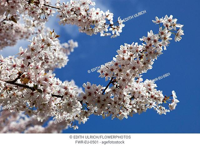 Apple tree, Malus domestica. Branches with massed, white blossoms against blue sky. England, West Sussex, Chichester