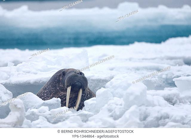 Walrus, Odobenus rosmarus, swimming between ice floes in Arctic Sea, Spitsbergen, Svalbard