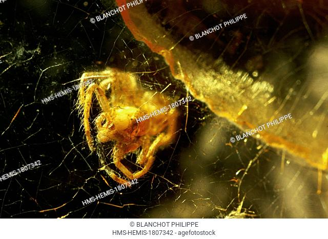 France, Paris, Museum National d'Histoire Naturelle, Arachnology Laboratory, Spider (2 mm) in Yellow amber from the Baltic Sea, Tertiary Era, Upper Eocene epoch