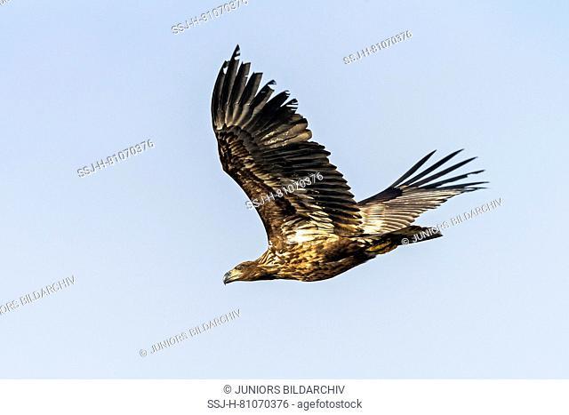 White-Tailed Eagle (Haliaeetus albicilla), immature in flight. Germany