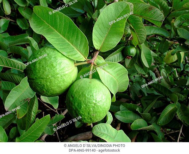 Food , Green leaf with two Guava (Pssidium Guajava L) jambu batu