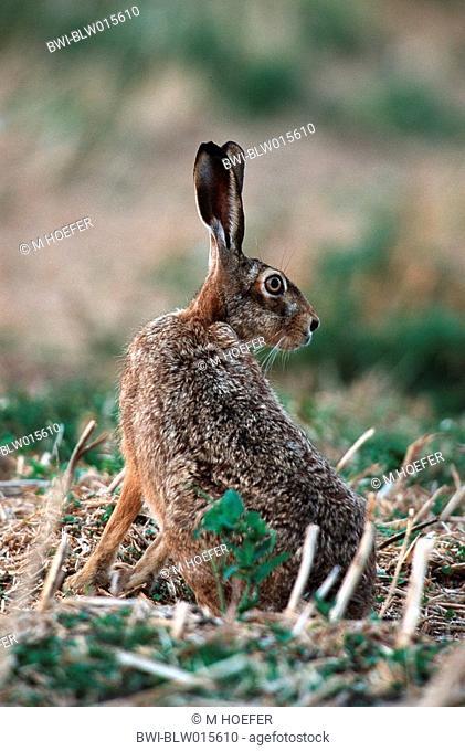 European hare Lepus europaeus, Aug 98