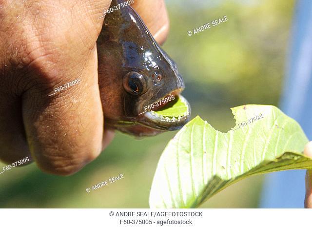 Bite of a piranha (Pygocentrus nattereri) in a leaf. Southern Pantanal, Mato Grosso do Sul, Brazil