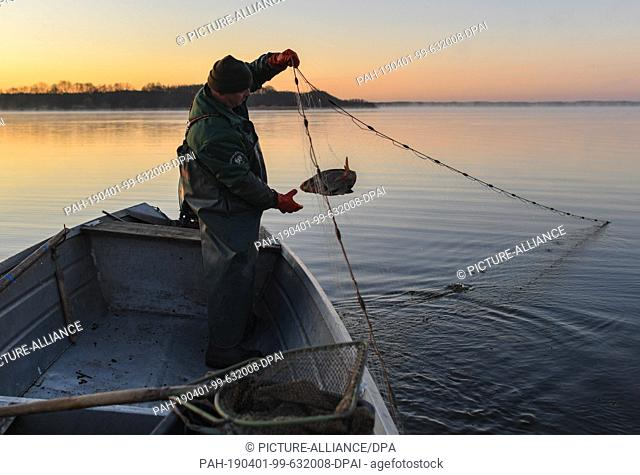 01 April 2019, Brandenburg, Groß Schauen: Laszlo Acz, fisherman of the fishery Köllnitz, gets a lead from a gillnet in the water of the Groß Schauener Seenkette