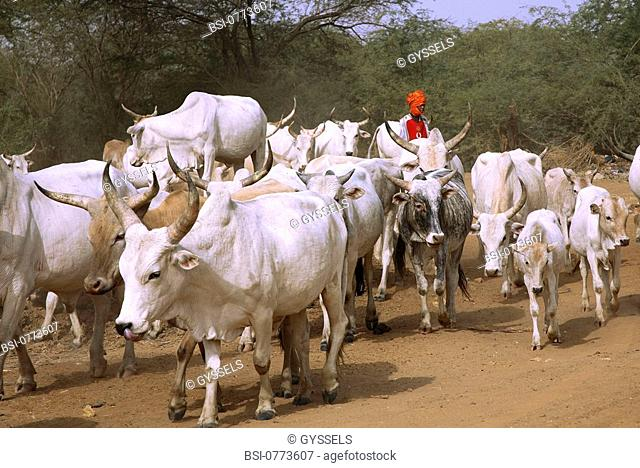 AN AFRICAN SCENE Breeding of zebus, Senegal
