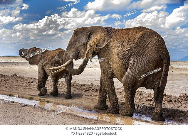 African Elephant drinking rain water and spraying soil in Amboseli National park, Kenya