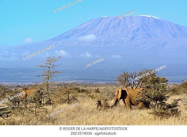 African bush elephant (Loxodonta africana) with Mount (Mt) Kilimanjaro (in Tanzania) on the left, in the background. Satao Elerai Conservancy