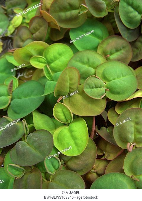 Floating Phyllanthus, Floating Spurge Phyllanthus fluitans, leaves