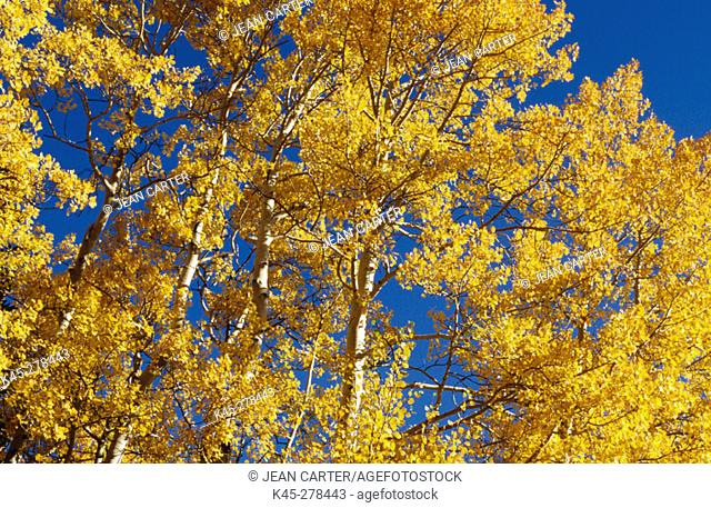 Quaking aspen trees (Populus tremuloides) in fall. Great Basin National Park. Eastern Nevada. USA